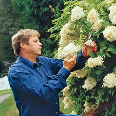 Tips for Growing Gorgeous Hydrangeas  I had no idea.