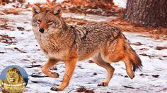 Nat Geo Wild Documentary - Coywolf Discovery Channel Animals HD 720p