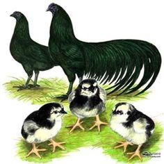 Black Sumatra Chicks for Sale, Buy Black Sumatra Chickens,Black Sumatra Chicken Picture Images