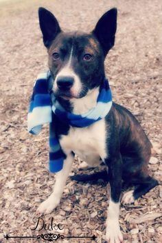 SUPER URGENT!!! Please rescue DUKE!!!! (very lovable boy...needs TLC) Found in Youngstown, OHIO...Available on: 1/16Contact: fofmcdp@gmail.comDuke (ID #31) is a handsome young male mixed breed dog. I would guess with those ears that he might be some type of cattle dog and maybe some terrier thrown in the mix as well. This boy LOVES his treats!...