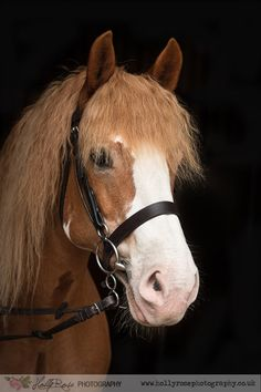 Chestnut mare headshot portrait on black background. Welsh Section D Cross Cob. Equine photoshoot 'my horse and me' with Holly Rose Lifestyle Photography