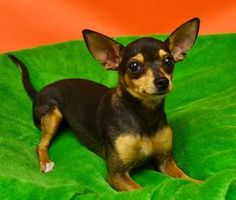 rita is an adoptable Chihuahua Dog in Denton, TX. available for adoption 7-9-13 1-2 years old  Adoption fee is $120. It pays to have the dog spayed or neutered; Rabies, Bordetella and DHLPP Vaccine...