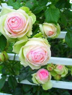 I think these are Esperanza roses. Note the pink center and the pale green outer petals. Lovely.