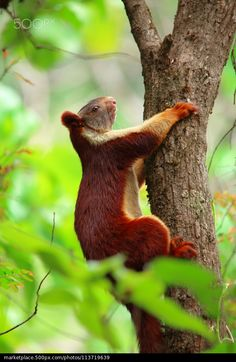 Giant Squirrel - Kartik Bhat
