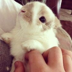 Cute Holland Lop is all wee and *SQUEEEE*