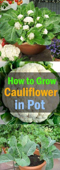 #14. Planting cauliflower in a container is not very difficult, just make sure you allow for adequate drainage and give them plenty of sunlight every day.