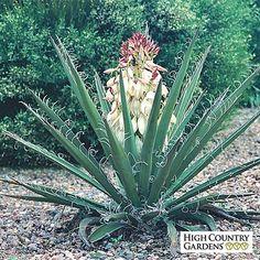 White Yucca baccata Compactum, Yucca baccata Compactum, Compact Banana Yucca