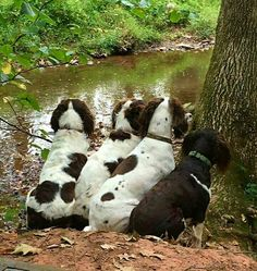 Springer Spaniels - On the look out ...