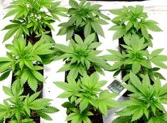 Easy Grow Schedule For Soil Growers - I Love Growing Marijuana Growing Weed Indoors, Growing Herbs, Hydroponic Grow Systems, Hydroponics, Marijuana Plants, Cannabis Plant, Cannabis Cultivation, Winter Garden, Horticulture
