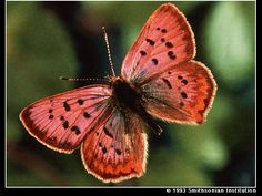 So Pretty!  -  California butterfly, Lycaena helloides