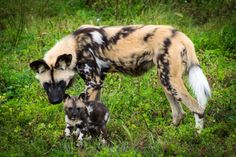Pack of Endangered Pups Emerge From Den
