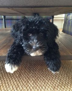Miss Ivy! The Milly & Grace Girl Puppy! Portuguese Water Dog. Portie.