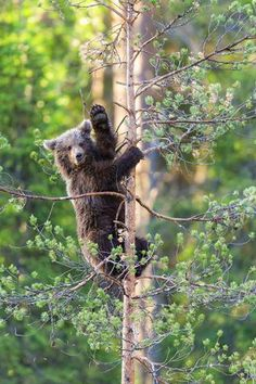 While observing a young bear climbing a tree, German amateur photographer Daniela Beyer captured the moment the cute cub paused halfway and waved its paw, as if to say hello to her. Beyer found the bear in a forest near the Finnish town of Kajaani. Animals And Pets, Funny Animals, Cute Animals, Nature Pictures, Cool Pictures, Amazing Photos, Fantasy Forest, Lovely Creatures, Tree Illustration