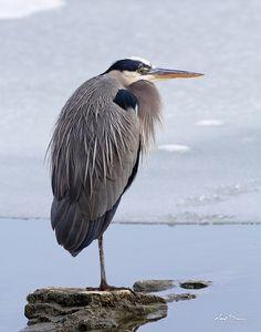 Great Blue Heron - countless times  Notable: Horse Shoe Lake, Old Jamestown church, Colorado river