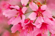 Photograph - Cherry Blossom Special by Regina Geoghan