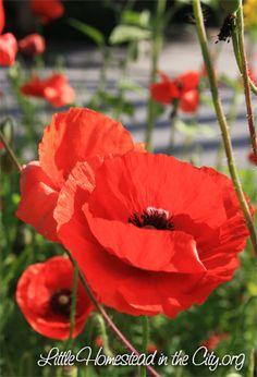57 best rug hooking poppies images on pinterest poppies red poppies rug hookingpansiesmy flowerpoppy mightylinksfo