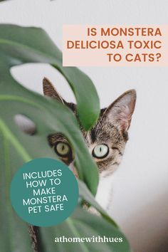 Are Monsteras safe for cats? This guide covers everything you need to know to ensure your monstera plant can thrive indoors with your feline friend. Houseplants Safe For Cats, Toxic Plants For Cats, Easy Care Indoor Plants, Cat Reading, Leafy Plants, Bring Them Home, Monstera Deliciosa, Desert Plants, Pet Safe