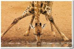 Giraffe Drinking - Animal Wildlife Nature Print POSTER