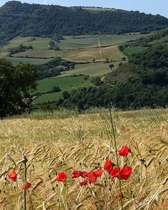 ...rural beauty... my wanderings yesterday took me past this field and I cannot resist a red poppy or two ❣❣...#millau #france