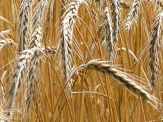 Organic grain prices in Canada are significantly higher than in the United States and expected to remain that way.