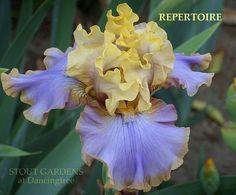 Iris REPERTOIRE | Stout Gardens at Dancingtree