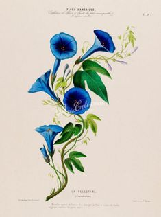 flowers-18032 - convolvulus blue flower image digital picture high resolution illustration from antique book public domain high resolution           data-share-from=listing        >           <span class=etsy-icon