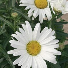 Daisy May® - Shasta Daisy - Leucanthemum superbum -Because of better branching and many side buds, this daisy blooms much longer than typical daisies do, often all summer long if deadheaded.