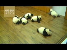 """Panda cubs made a group debut, and one needs to refine his """"make-up""""! - YouTube"""