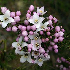 Tasmanian native boronia