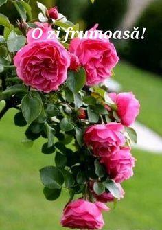 Love Rose, My Flower, Pretty Flowers, Flower Power, Rosas David Austin, David Austin Rosen, Beautiful Roses, Beautiful Gardens, Pink Roses