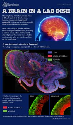 A Mini Brain Grown From Human Stem Cells (Infographic) Brain Illusions, Cord Blood Registry, What Is Stem, Brain Based Learning, Cerebral Cortex, Cord Blood Banking, Brain Facts, Brain Anatomy, Stem Cell Therapy