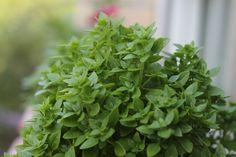 mini basil Potted Plants, Basil, Planters, Yummy Food, Herbs, Drink, Garden, Plant Pots, Pot Plants
