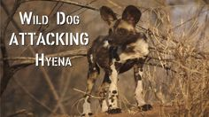 Wild Dog ATTACKING Hyena | CAUGHT IN THE ACT