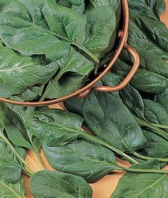 Spinach is another fantastic vegetable for the fall vegetable garden that grows pretty quickly. Spinach is known for its nutritional value and ease of growth. Baby spinach leaves can be harvested in less than 40 days from seedling emergence and go well in salads, stir-fry and other dishes. Sow spinach seeds 1/2-inch deep and space plants about six to twelve inches apart.
