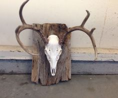 European Mounted Deer: I killed my first buck this year but couldn't justify spending the money for a shoulder mount. I've always enjoyed the look of the European style mount. Deer Horns, Deer Skulls, Cow Skull, Skull Art, Antler Mount, Antler Art, Crane, Deer Head Decor, Deer Mount Decor
