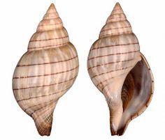 4fdd530dce61795baf97fd50bfc1a928--seashell-identification-sanibel-island.jpg 236×201 pixels
