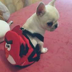 The tiniest backpack. | 50 Adorable Reasons That 2013 Was The Year Of The French Bulldog