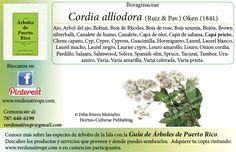 Redescubre el Capá prieto... con la Guía de Árboles de Puerto Rico