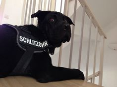 Are you looking for protection ??  #dog Labrador