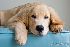 Astonishing Everything You Ever Wanted to Know about Golden Retrievers Ideas. Glorious Everything You Ever Wanted to Know about Golden Retrievers Ideas. Golden Retrievers, Golden Retriever Labrador, Female Golden Retriever, Retriever Puppy, Labrador Retrievers, Best Dog Names, Best Dogs, What Kind Of Dog, Kinds Of Dogs