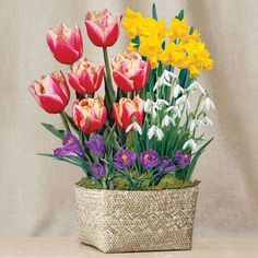 Holiday Delight Bulb Garden: Enjoy 5 Wirosa Tulips, 7 Purple Crocus, 5 Snowdrops, and 3 February Gold Daffodils! Send as a Single Gift or as the First Garden in Our December-start Bulb Clubs!  This confection of cheerfully colorful blooms will brighten all those festive gatherings! The first gift in our December-start Bulb Clubs, it makes a gorgeous and welcome present on all its own as well.