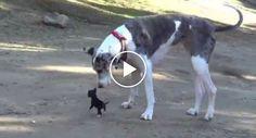 Chihuahua Com Meses De Vida Conhece Pela 1ª Vez Dois Cães Gigantes