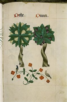 Peach, plum, and birds perched on a pimpernel. From the Tudor Pattern Book, a bestiary and herbal.