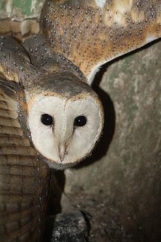 Barn Owl Nest Cam - WoodWorking Projects & Plans
