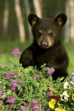 Captive Black Bear Cub Playing In Flowers Minnesota Canvas Art - Michael DeYoung Design Pics x Photo Ours, Photo Animaliere, Cute Baby Animals, Animals And Pets, Wild Animals, Beautiful Creatures, Animals Beautiful, American Black Bear, Black Bear Cub