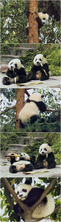 http://www.amazingchina.com/Day-Trips/Tours/Chengdu-Giant-Panda-Breeding-Research-Base-Half-Day-Tour.html