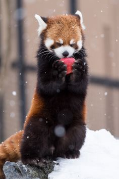 I love pinning red pandas to my board cause my feed comes up with more red pandas Cute Funny Animals, Cute Baby Animals, Animals And Pets, Funny Cute, Red Panda Cute, Mon Zoo, Tier Fotos, Cute Creatures, Animal Memes