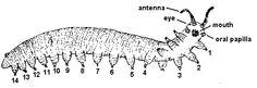 velvet worms - Google Search