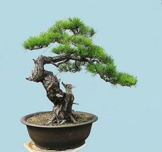 Outdoor Bonsai Tree For Beginners Specimen Bonsai Outlet - Bonsai, Bonsai Tree, Bonsai For Beginner, Bonsai Tree Care, Bonsai Garden Outdoor Bonsai Tree, Buy Bonsai Tree, Bonsai Tree Care, Bonsai Tree Types, Indoor Bonsai, Bonsai Trees, Specimen Trees, Miniature Trees, Tree Seeds