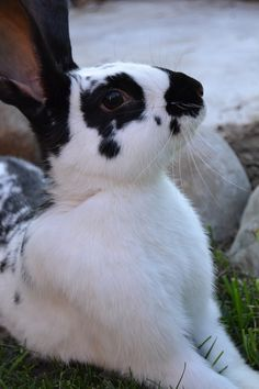 I think this is a California bunny.  It has really cute markings and pose.